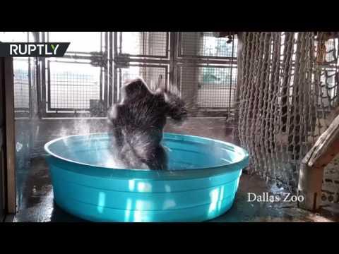 فلسطين اليوم - شاهد غوريلا راقصة من حديقة حيوانات دالاس