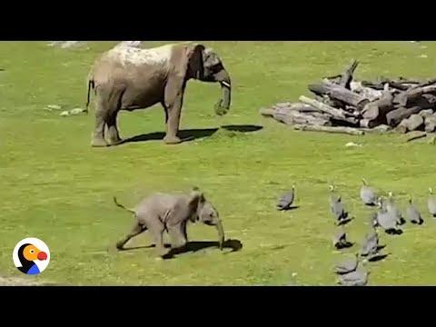 فلسطين اليوم - شاهد فيل صغير يطارد الطيور كالأطفال