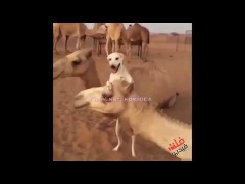 فلسطين اليوم - شاهد كلب يلعب دور راع للإبل باحترافية