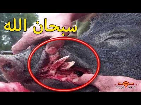 شاهد معجزة يكشفها العلماء عن أكل لحم الخنزير