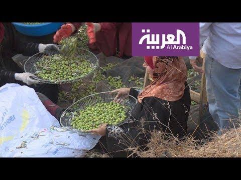 طقوس العرس الفلسطيني في حقول الزيتون