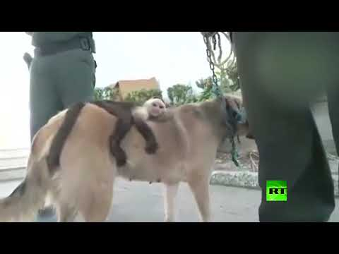 شاهد كلبة تتبنى قردًا من نوع كبوشي في كولومبيا