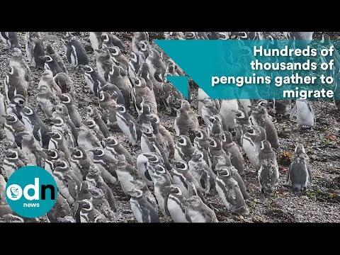 مليونية لطيور البطريق استعدادا للهجرة الشتوية