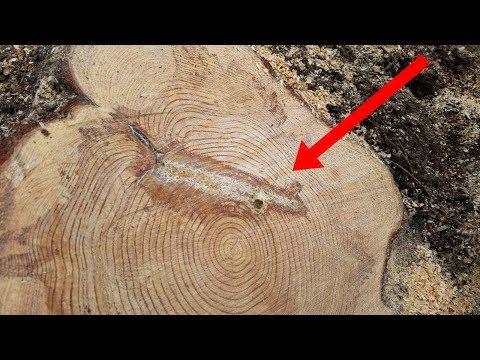 شاهد أمر غريب وٌجد بداخل شجرة تم شقّها