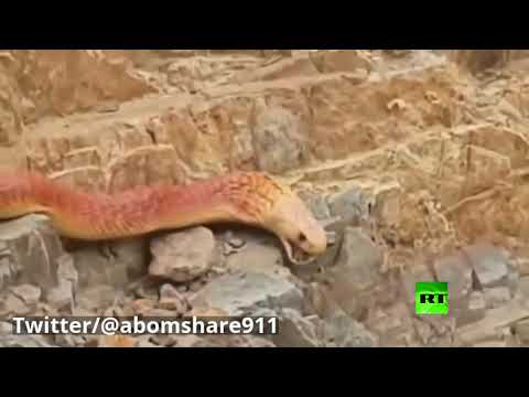 شاهد ثعبان ضخم يُثير ضجة في السعودية