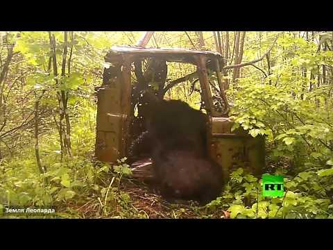 دب فضولي يلهو داخل قمرة شاحنة قديمة في أرض الفهد
