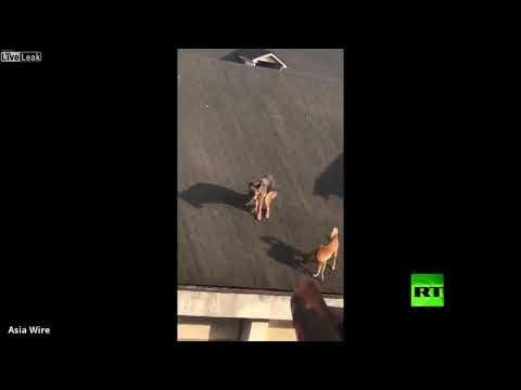 كلبان يتجولان أعلى سقف منزل وأحدهم يقضي حاجاته