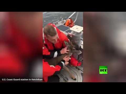 شاهد خفر السواحل في آلاسكا ينقذون آيلا في مياه البحر