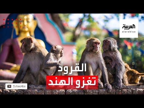 شاهد آلاف القرود تغزو مدينة هندية بحثًا عن الطعام