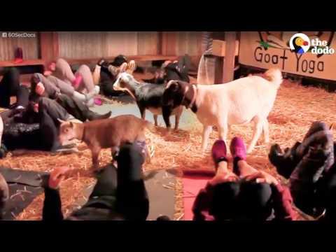 العرب اليوم - افتتاح مدرسة ليوغا الماعز في أميركا