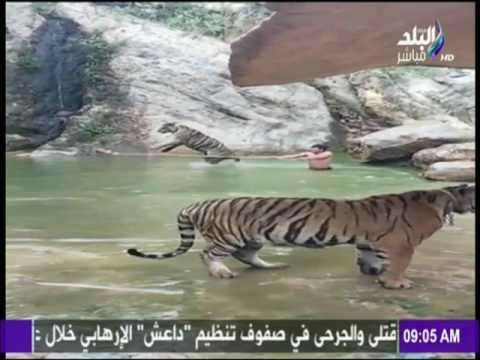 العرب اليوم - شاهد نمر ضخم يلعب مع حارسه في الماء
