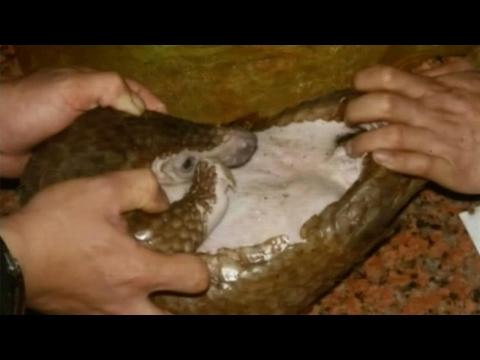 العرب اليوم - الصينيون يلتهمون آكلات النمل