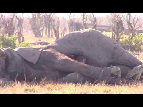 العرب اليوم - بالفيديو  مشهد غريب لضبع يخرج من بطن فيل