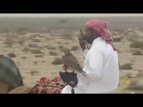 العرب اليوم - بالفيديو انطلاق بطولة القلايل للمقناص في دولة قطر