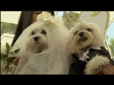 العرب اليوم - شاهد حفلة زفاف رائعة لمجموعة من الكلاب