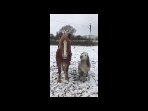 فلسطين اليوم - بالفيديو امرأة تعلم حصانًا صغيرًا خدعة طريفة