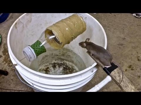 فلسطين اليوم - شاهد كيف يصطادون الفئران بطريقة خرافية