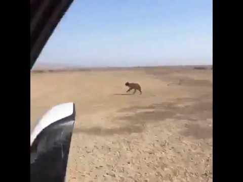 فلسطين اليوم - شاهد شباب يقتلون ذئبًا بطريقة بشعة