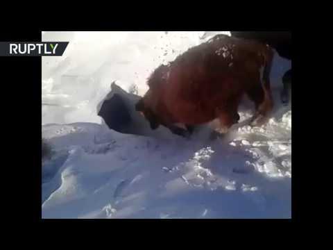 فلسطين اليوم - بالفيديو أبقار تعيش تحت الثلوج في كازاخستان