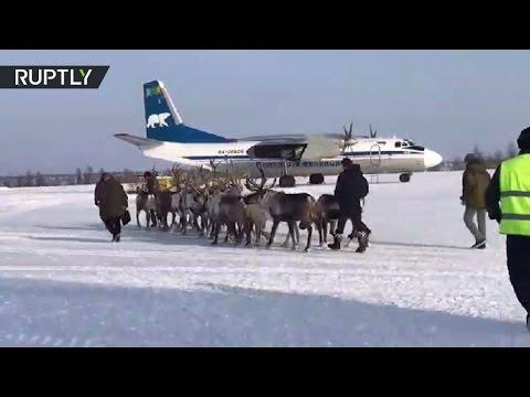 فلسطين اليوم - شاهد حيوانات الرنة على متن طائرة نقل an26