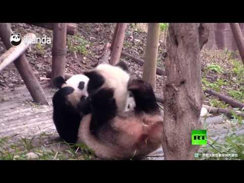 فلسطين اليوم - شاهد لحظات جميلة لعائلة باندا من تشنغدو الصينية