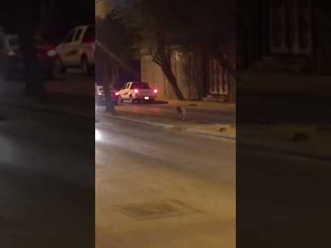 فلسطين اليوم - نمر يتجول في الشارع في البريدة