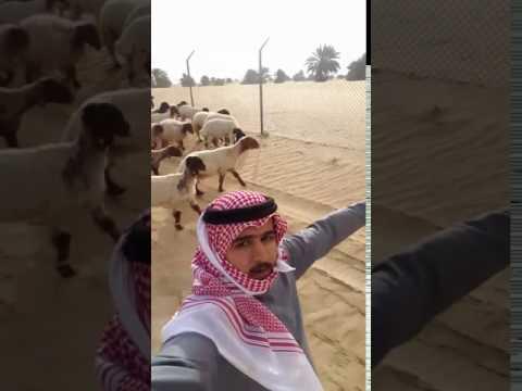 فلسطين اليوم - خروف يضع سعوديًا في موقف محرج
