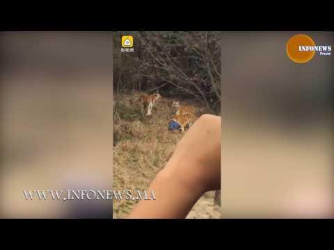 فلسطين اليوم - شاهد رجل تفترسه النمور داخل حديقة في الصين