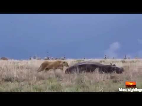 فلسطين اليوم - أنثى أسد تندم بعد محاولة افتراس فرس نهر