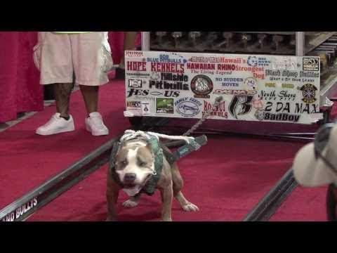 فلسطين اليوم - مسابقة جديدة لأقوى كلاب البيتبول في العالم