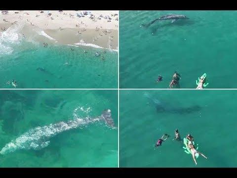 فلسطين اليوم - حوت رمادي يسبح على بعد أمتار من سباحين