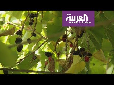 فلسطين اليوم - توت الطائف من أغلى الثمار الموسمية