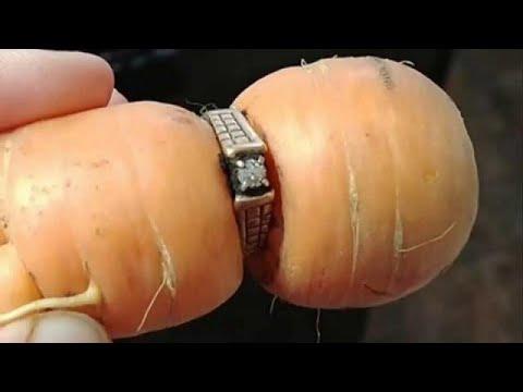 فلسطين اليوم - شاهد سيدة تعثر على خاتمها الماسي في ثمرة جزر