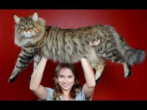 فلسطين اليوم - شاهد أضخم 10 سلالات القطط في العالم