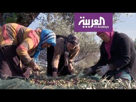 شاهد انطلاق موسم قطاف الزيتون في تونس