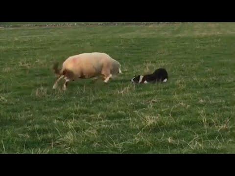 شاهد خروف يهاجم كلبا حاول السيطرة عليه