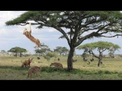شاهد  لبؤة خائفة تحاول تسلق الشجرة للهروب