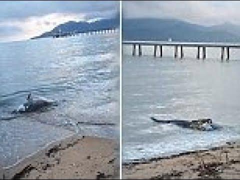 بالفيديو تمساح يفاجئ رواد شاطئ بأغرب وجبة إفطار