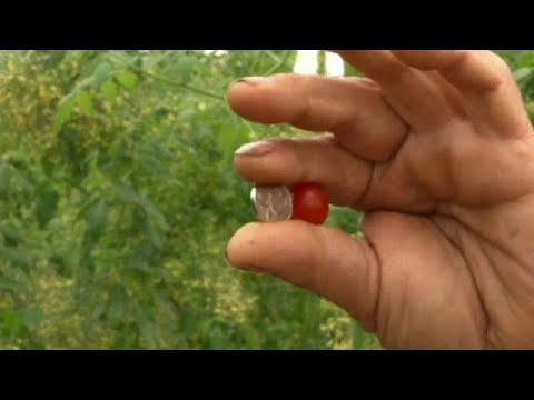 أصغر طماطم في العالم  صناعة إسرائيلية