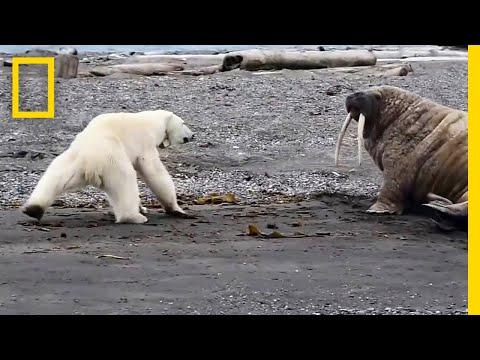 مواجهة بين دب قطبي جائع وحيوان الفظ