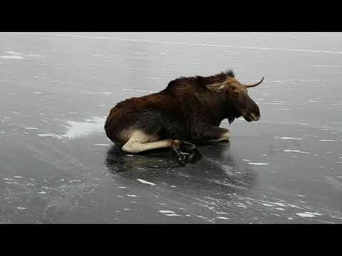 لحظة إنقاذ حيوان الموس المحاصر وسط الجليد