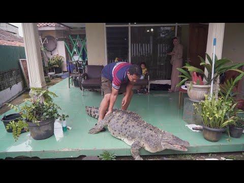 كوجيك تمساح ضخم يسكن منزل أسرة اندونيسية