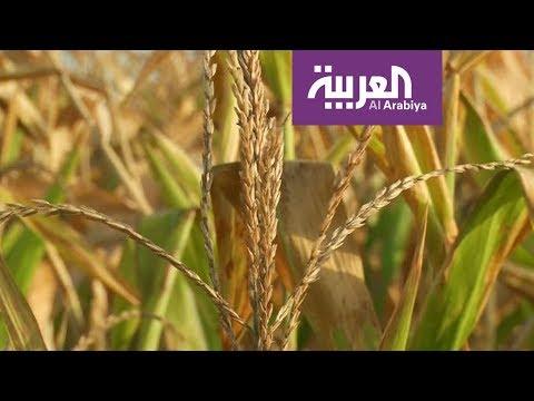 شاهد إنتاج طن من القمح يحتاج ألفًا من المياه