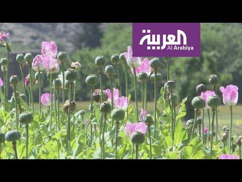 شاهدالورود تنافس الأفيون في أفغانستان
