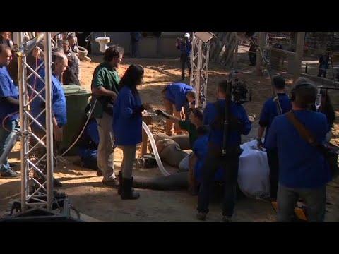 شاهد لحظة إجراء عملية جراحية لاستئصال ناب فيل