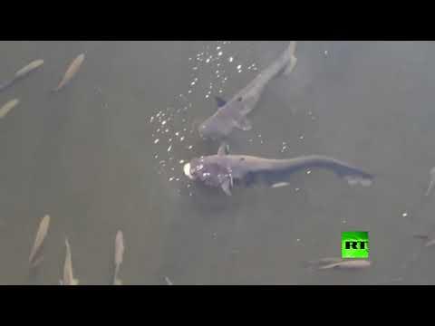 شاهد أسماك عملاقة مُعدَّلة وراثيًا تُثير الرعب في تشيرنوبل