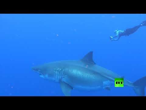 شاهد باحثان يسبحان مع أضخم سمكة قرش أبيض