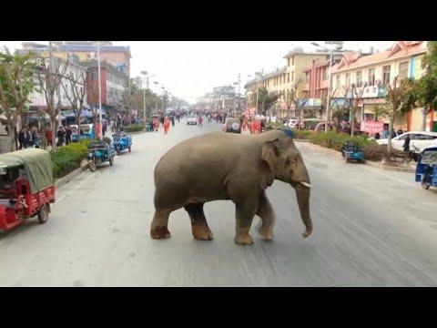 شاهد فيل تائه يتجول في شوارع مدينة صينية