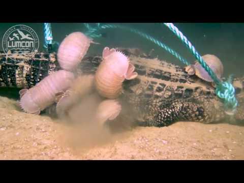 شاهد علماء يصورون لقطات نادرة لحشرات عملاقة تلتهم تمساح
