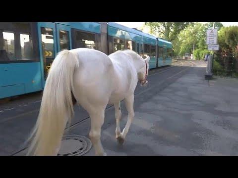 الخيول العربية تصبح من أشهر سكان فرانكفورت